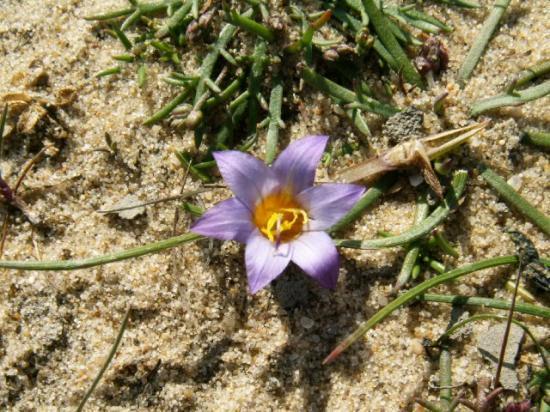 Petit crocus dans les sables des prés salés de Lège